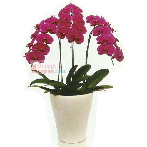 Anggrek Ungu, jual anggrek ungu, harga anggrek ungu, toko bunga jual anggrek